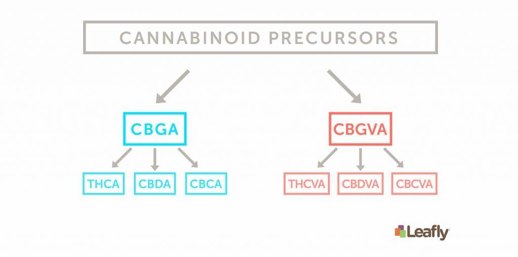 Cannabinoid Precursors