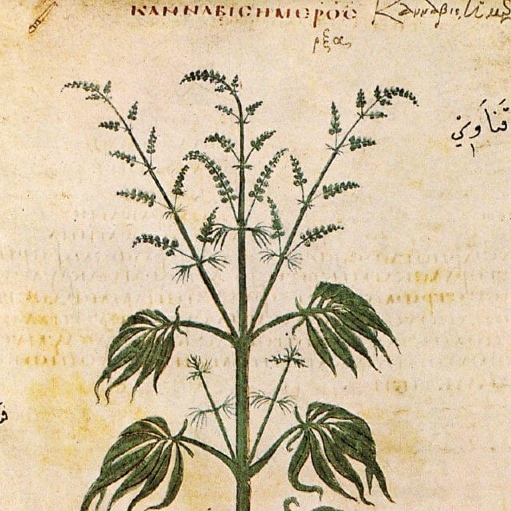 The History of Cannabis   CBD OIL NZ